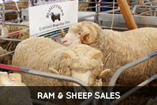 Ram and Sheep Sales
